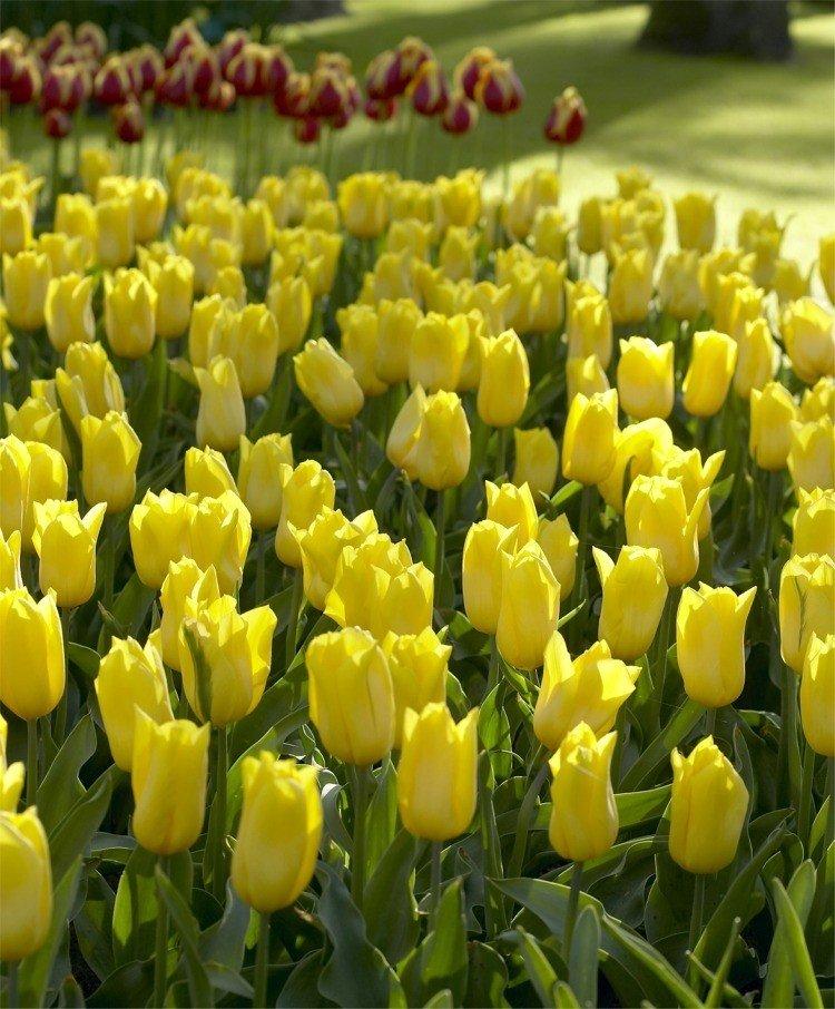 путают золотые тюльпаны фото продажа квартир белорецк